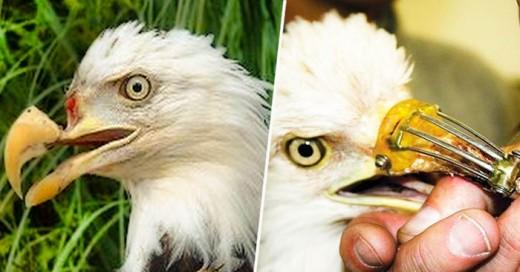 Un día, un par de personas en Tofino, Canadá, escucharon una serie de disparos y salieron a ver qué sucedía, fue entonces cuando se encontraron con un águila malherida y con su pico casi cortado en su totalidad por el roce de una bala.