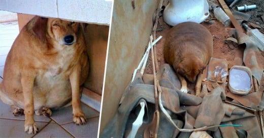 Una de las cosas más tristes y terribles que le pueden pasar a un perro es ser abandonado a su suerte. Pero si a eso le aunamos problemas de salud como la obesidad y problemas respiratorios, esto se vuelve mucho más grave y lamentable.