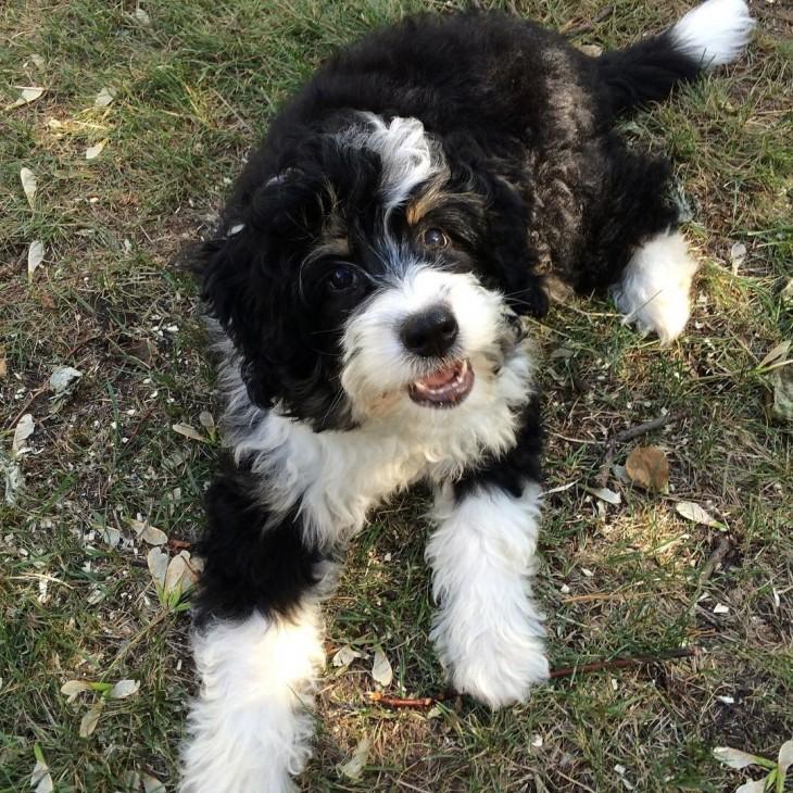 Perro de Bernedooble es la cruza de un Bernese Mountain con Poodle