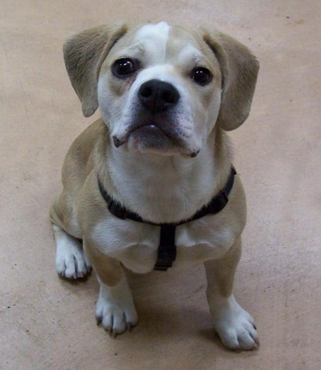 Perro cruza de un bulldog inglés y un beagle
