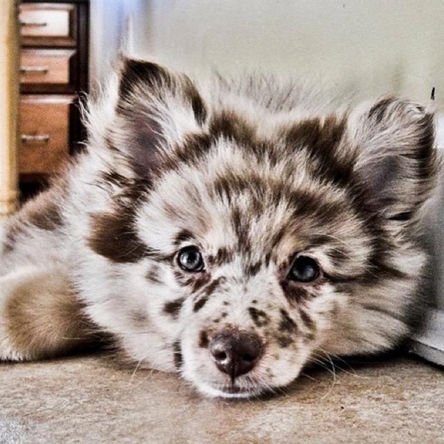 Perro cruza de Australian Shepherd con Pomerania