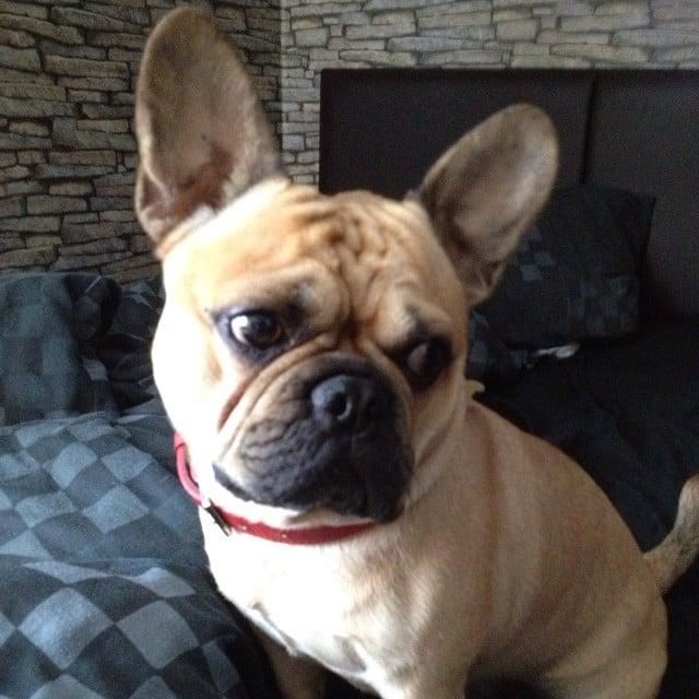 perro que sale de la cruza de Bulldog Francés y Pug