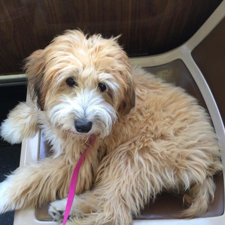 Whoodle es la Cruza de Poodle con Wheaten Terrier