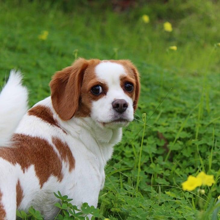 Beaglier es la cruza de un perro Beagle con un Cavalier King Charles Spaniel