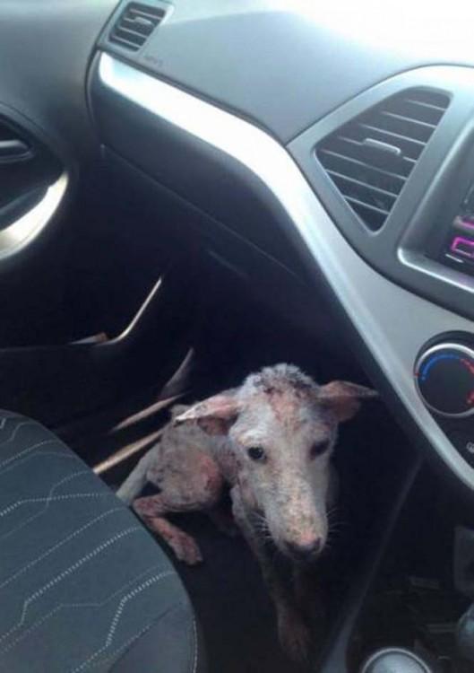 Perrita callejera dentro de un coche en el asiento delantero