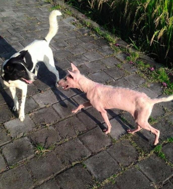 Perrita Kelsey caminando hacia otro perro