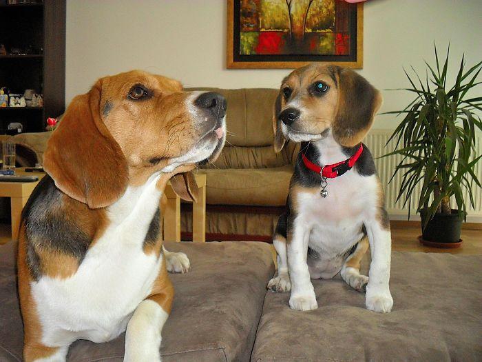 Cachorro beagle viendo a su madre sobre un sillón