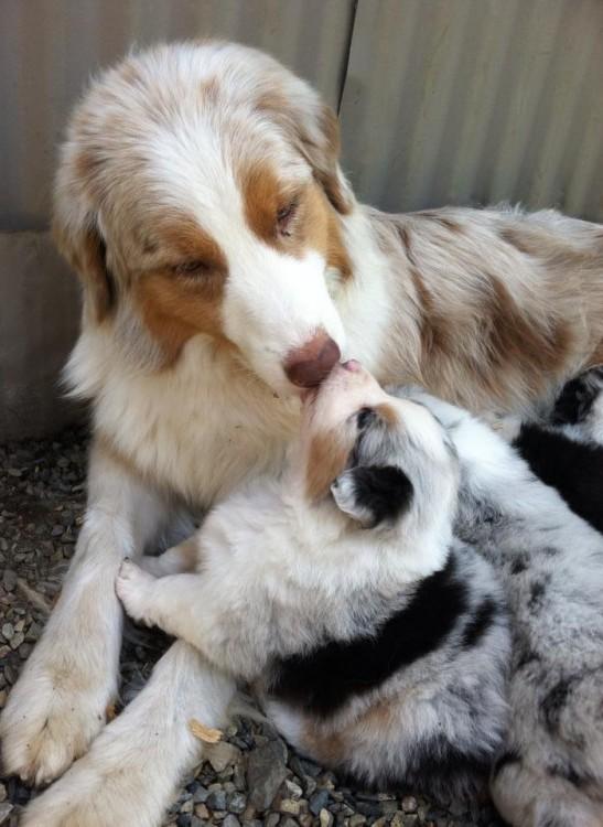 Un perro grande simulando que le da un beso a su pequeño cachorro