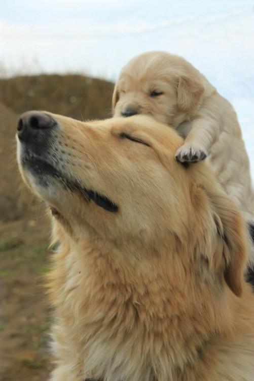 Perro golden retriever con su cachorro en la cabeza