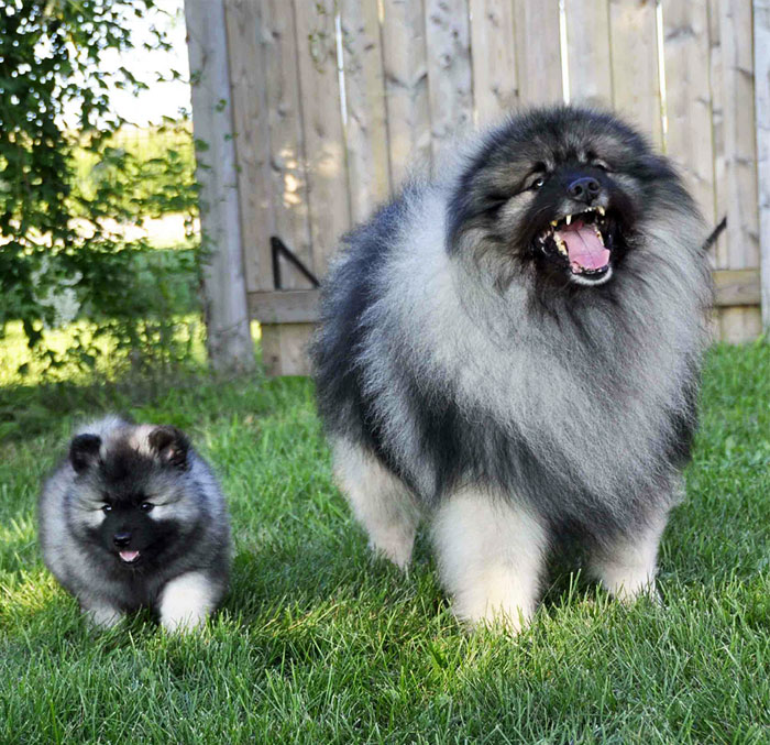 un perro grande junto a su pequeño cachorro en el jardín de una casa