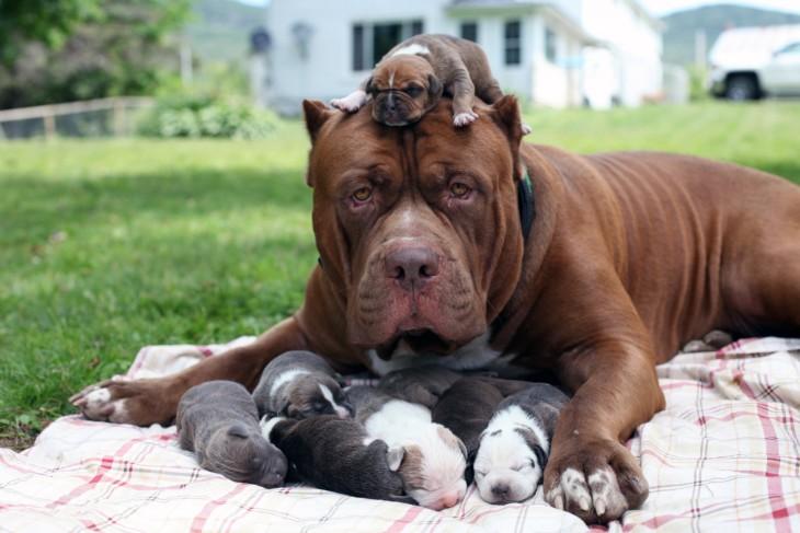 Hulk el perro más grande del mundo rodeado de sus pequeños cachorros