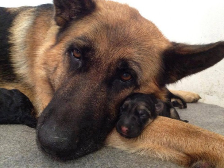 Perro pastor alemán a un costado de su pequeño cachorro
