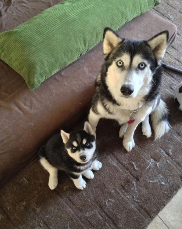 Perro Husky junto a un cachorro