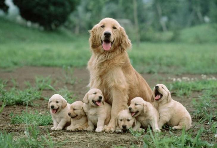 perro golden retriever rodeado de sus pequeños cachorros
