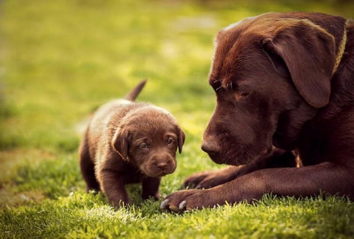 Un perro acostado observando a su pequeño cachorro