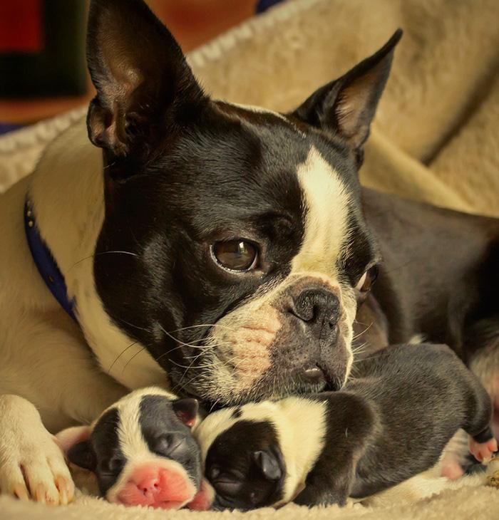 Perro bull dog francés cuidando de sus crías
