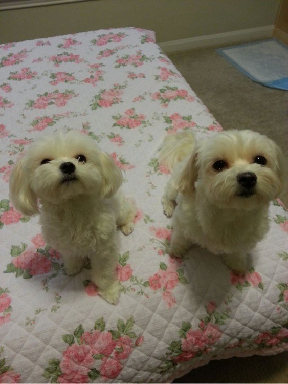 Dos pequeños perros french poddle mirando hacia arriba