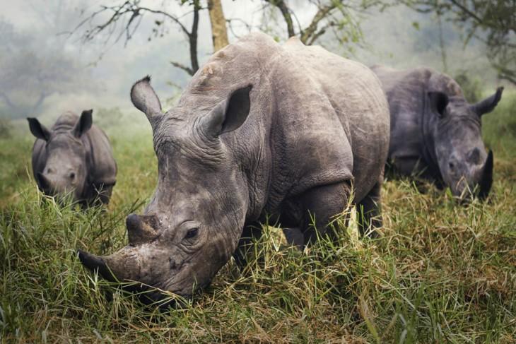 Fotografía Rhinos Blancos con el mérito ganador de National Geographic