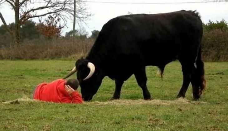 Granjero frances adoptó a un toro