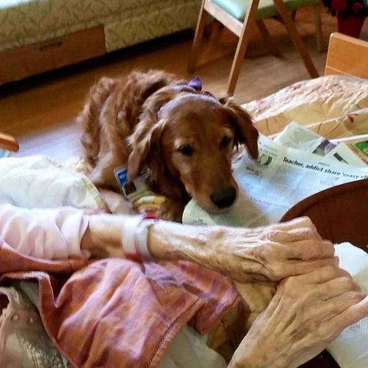 Perra de terapia a un costado de la cama de una anciana en un hospicio.
