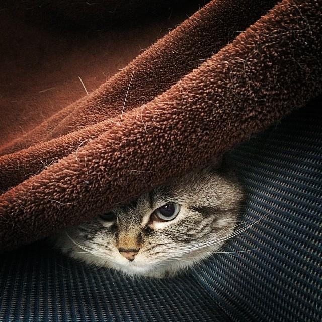 gato debajo de una cobija en un sillón