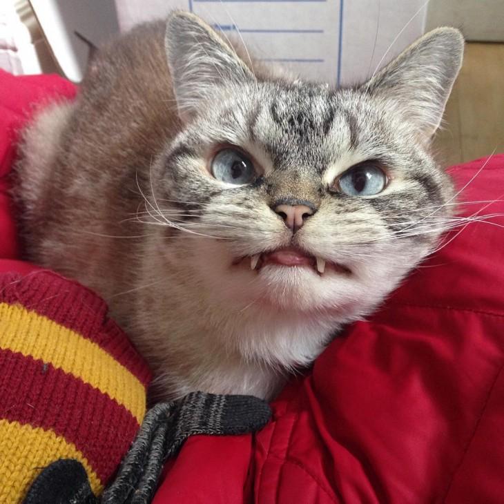 Cara de un gato con dientes de vampiro