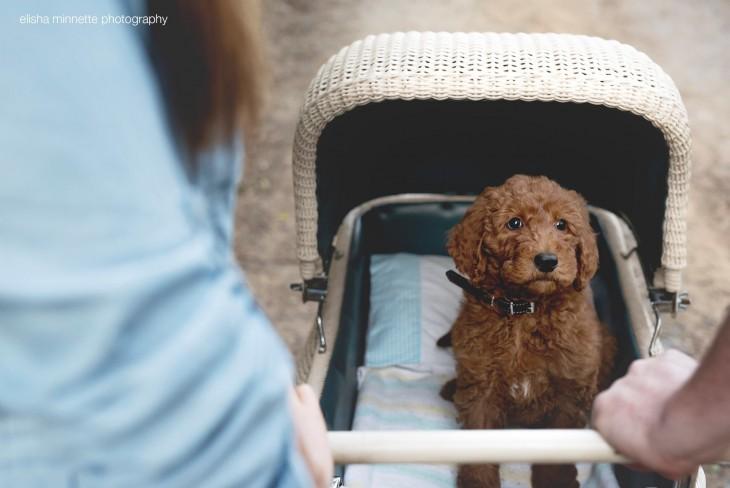 Perro de color café dentro de una carreola como si fuera bebé