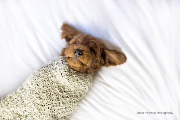 Pequeño cachorro enredado en una cobija sobre una cama