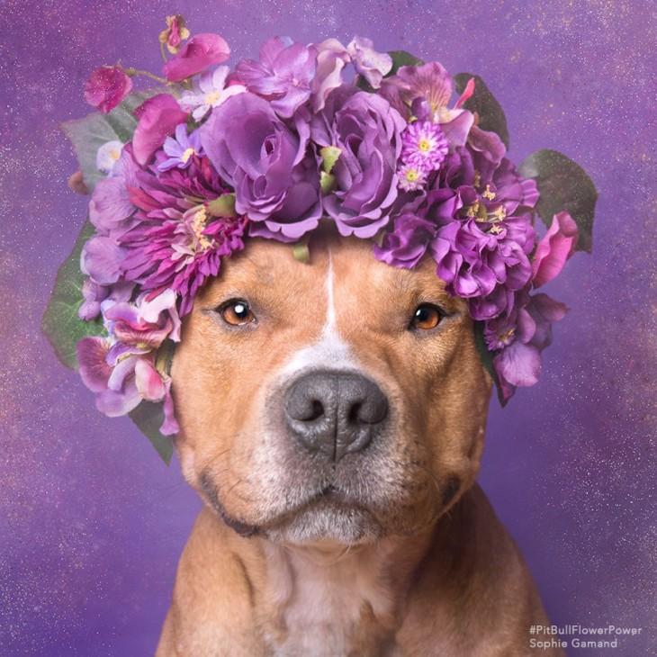 Fotografía de un perro Pit Bull con una corona de flores en su cabeza