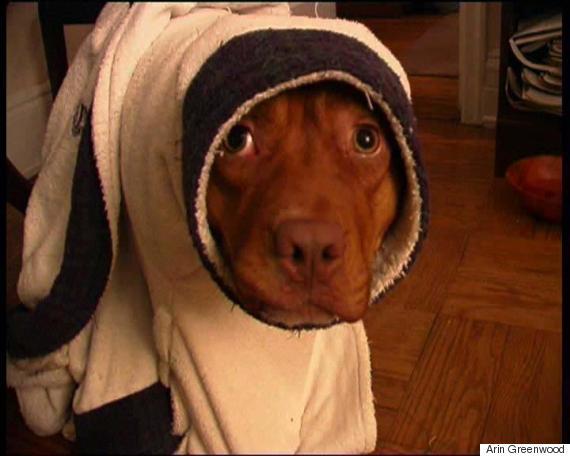 Cabeza de un pitbull con una toalla alrededor de su cuerpo