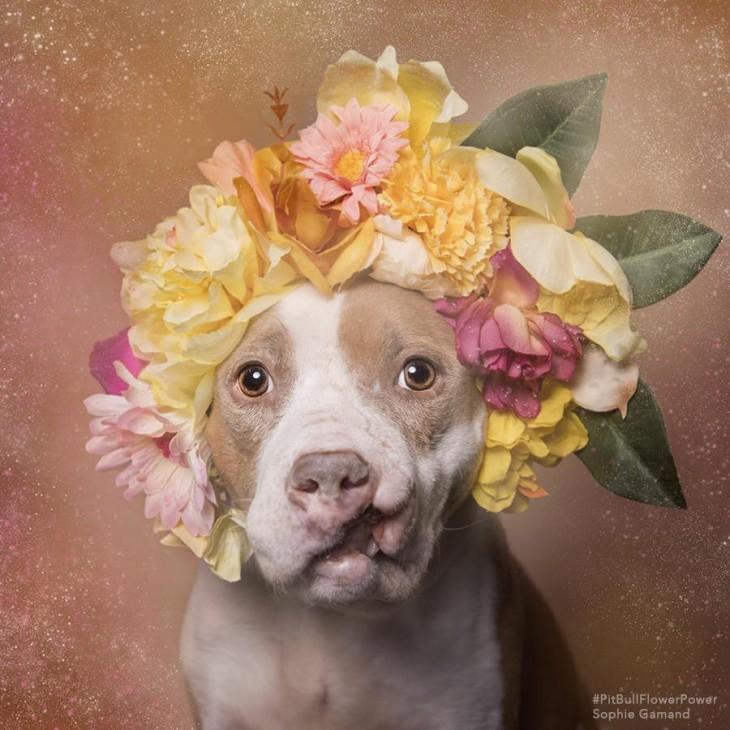 Perro pit bull con una corona de flores en la cabeza