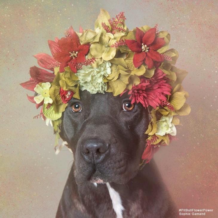 Fotografía de un perro Pi Bull negro con una corona de flores en la cabeza