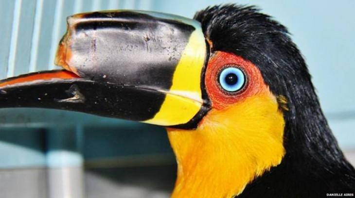 Fotografía de un tucán brasileño con la mitad de su pico