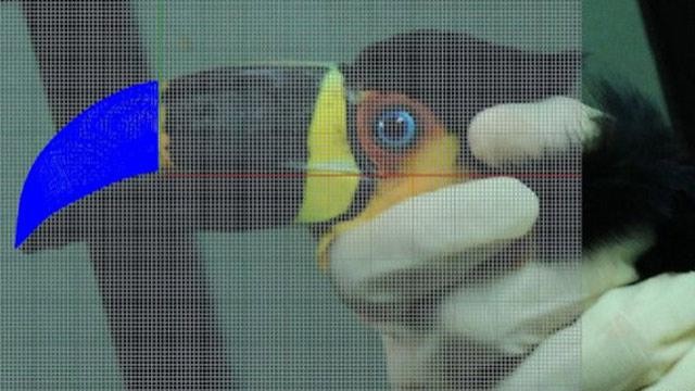 Medida para la prótesis de un tucán en Brasil