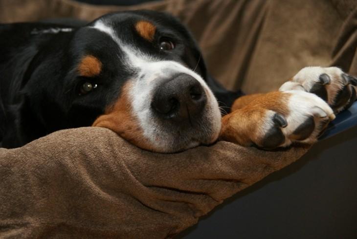 Cara de un perro acostado en un sillón aburrido