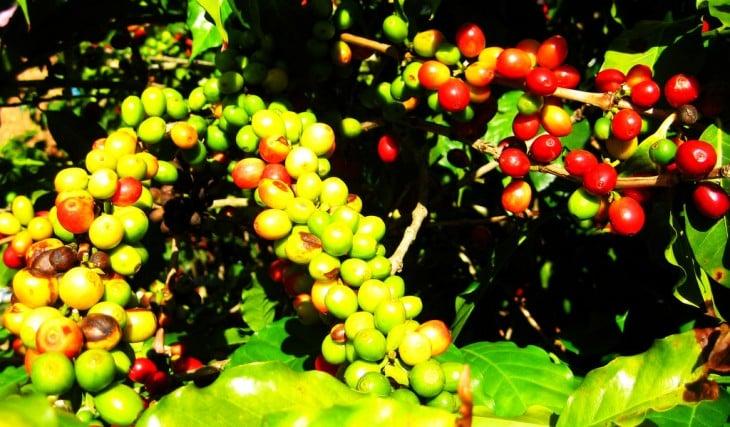 Planta de café hondureño
