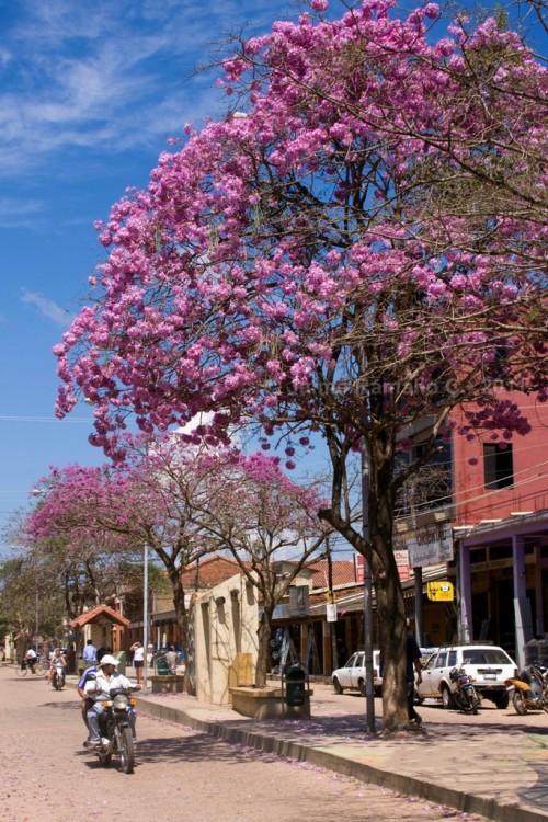 Árbol de Tajibo Rosado en las calles de Bolivia
