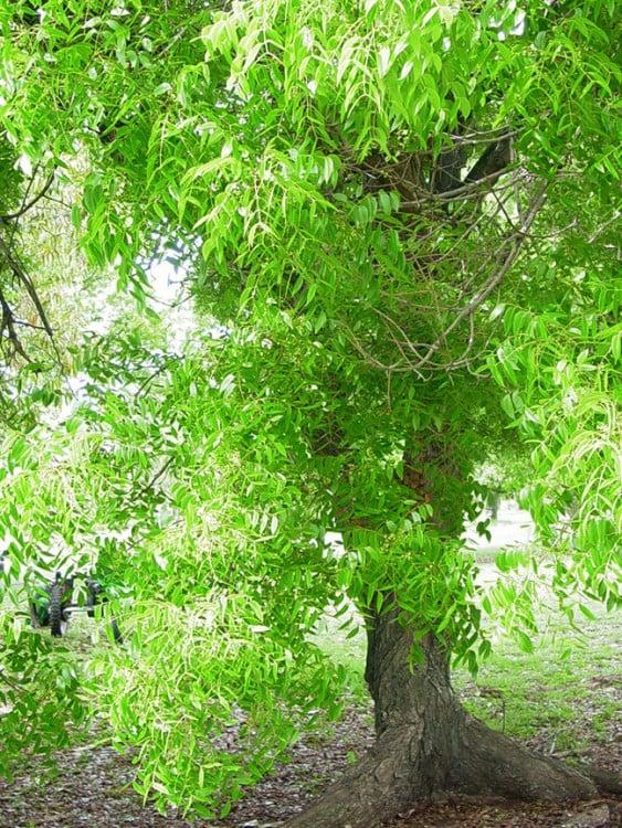 El árbol de caoba es el representativo de República Dominicana