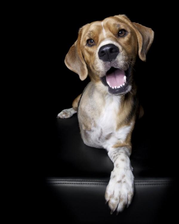 Cachorro Beagle de 3 patas