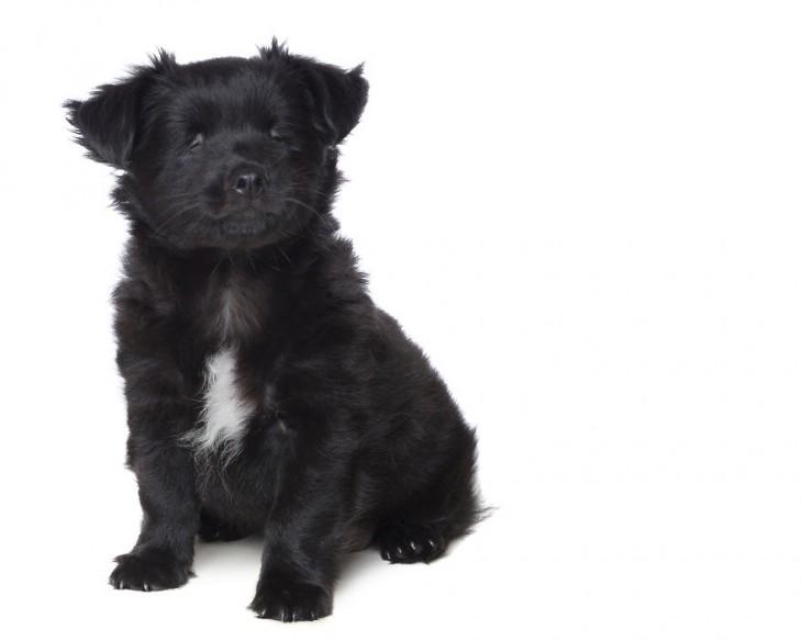 Pequeño cachorro ciego de color negro
