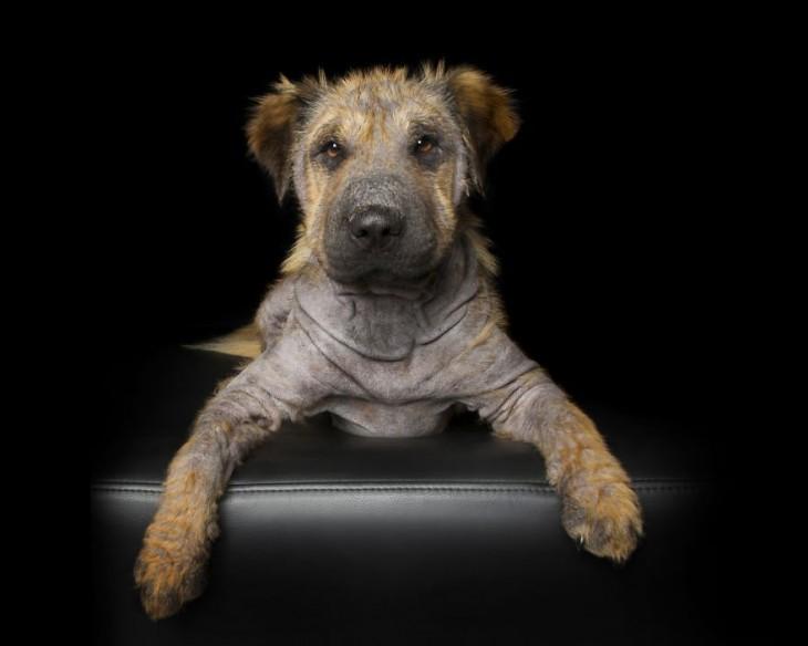 Fotografía de un perro con sarna acostado sobre un sillón