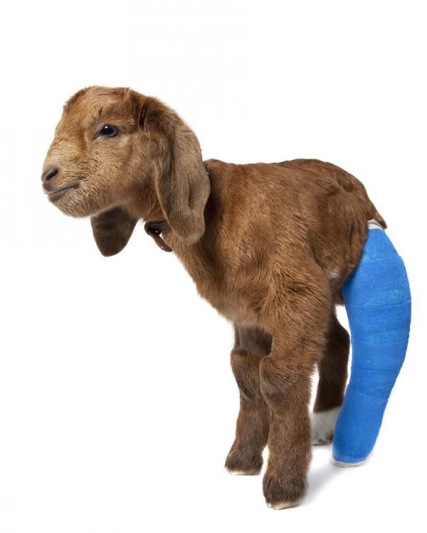 Una cabra bebé con una pata trasera rota
