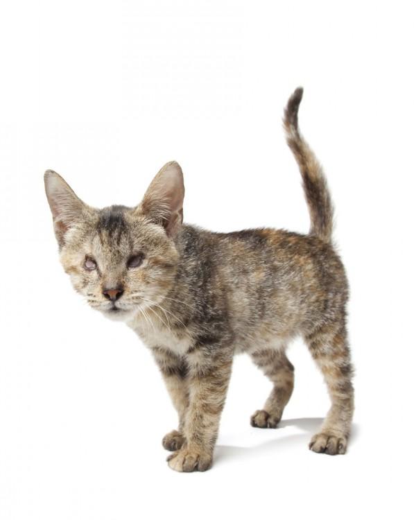 un gato sin ojos parado sobre un fondo blanco