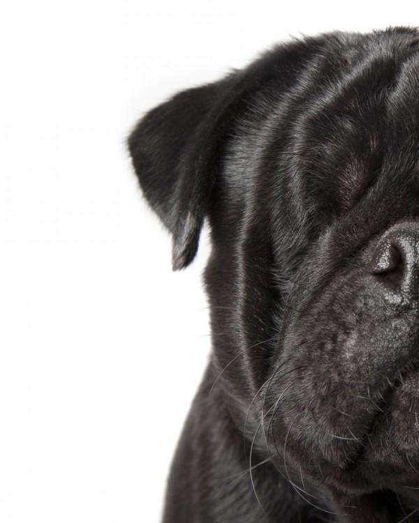 Perro pug de color negro con un solo ojo