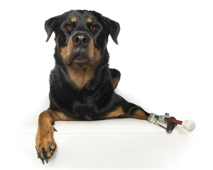 fotografía de una perrita Rottweiler con un implante en la pata delantera de lado izquierdo