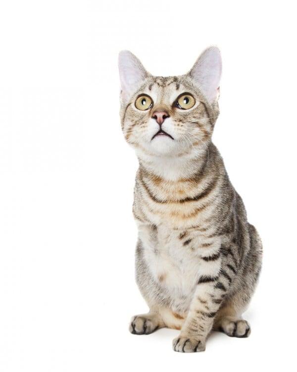 Imagen de un gato con solo 3 patas