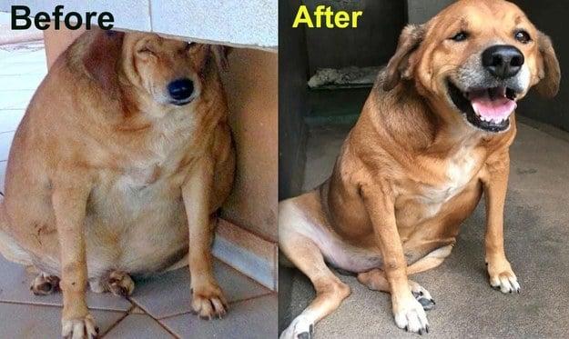 fotografía del antes y después de un perro obeso