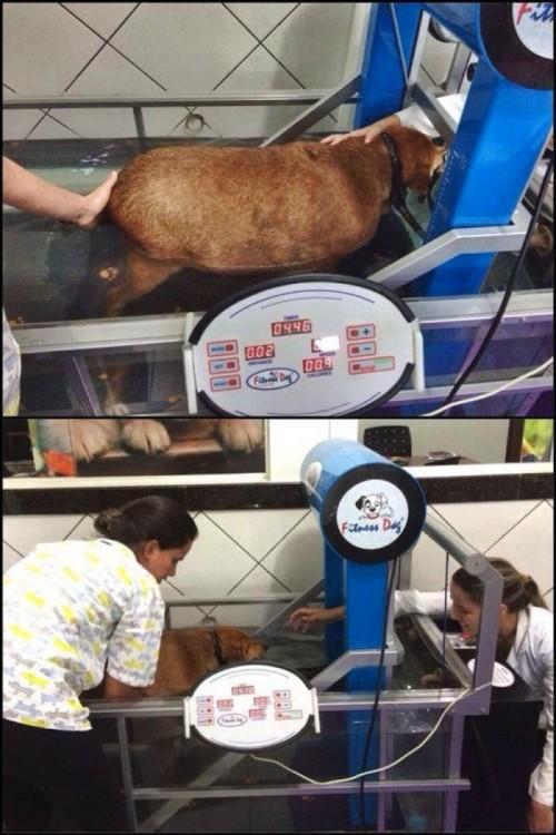 Perro obeso haciendo ejercicio en una caminadora para perder peso