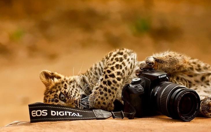 Pequeño jaguar acostada junto a una cámara cannon en el suelo