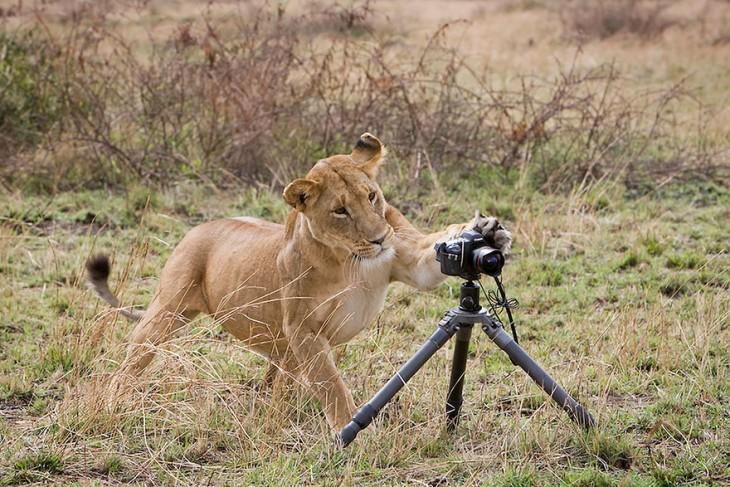 león en la selva simulando que va a tomar una fotografía